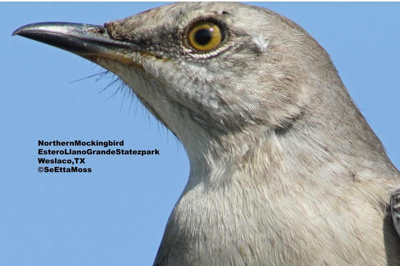 northern mockingbird the american nightingale birds and blooms