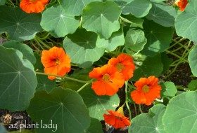 Nasturtiums or 'Nose-Twisters'?