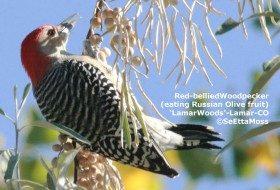 Red-bellied Woodpecker's winter food store