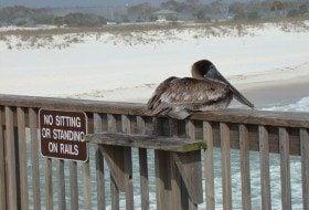 Friday Fun Photo: Brown Pelican