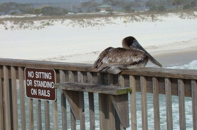 Brown Pelican by Edna Kraemer