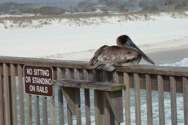 Brown Pelican by Edna Kraemer