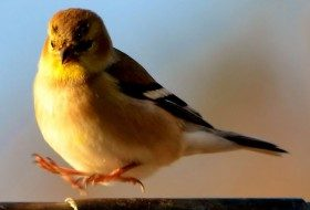 Fun Friday Photo: American Goldfinch