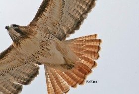 Love is in the air (and sometimes competition too): Red-tailed Hawks