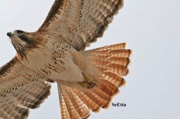 Red-tailedHawk-©SeEttaMoss