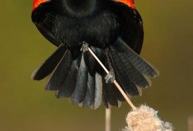 You Don't Say: Red-Winged Blackbird Ballyhoo