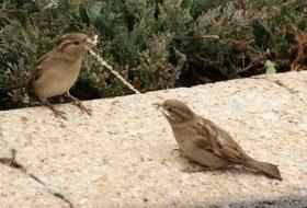 Friday Fun Photo: House Sparrows