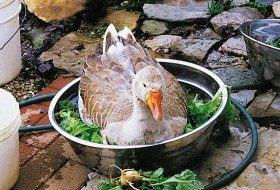 Friday Fun Photo: Goose in the Greens