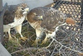 From the Cornell Lab: Gorgeous Red-tailed Hawk Nest Cam