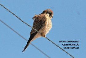 American Kestrel: a common bird of prey