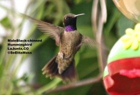 Welcome migrating hummingbirds