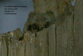 Great Horned Owl Nesting Time