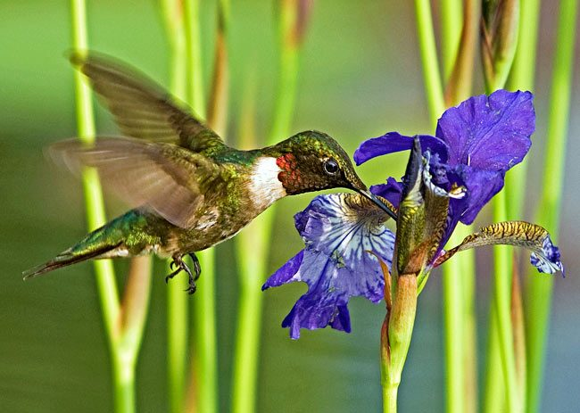 Hummingbird and Iris by Jerry Acton. Birds & Blooms, June/July 2011.