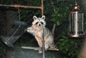 Friday Fun Photo: Rascally Raccoon