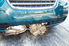 Red-Tailed Hawk Survives!
