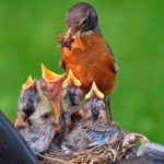 Watch Baby Birds With Nest Cams and in Your Backyard