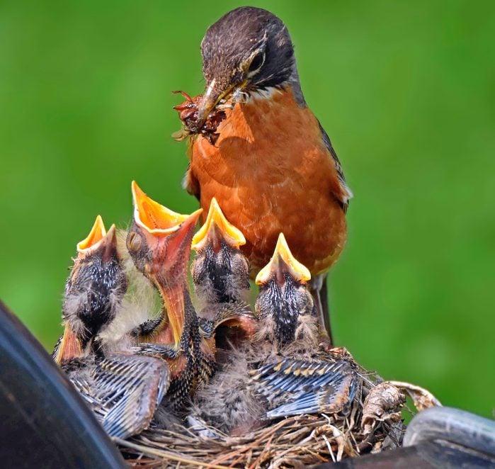 robin nest with nestlings