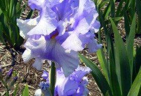 Beautiful, Bearded Iris