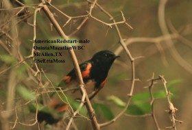 American Redstart: distinctive warbler