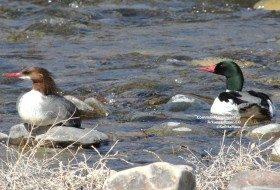 Common Merganser, a most stunning duck