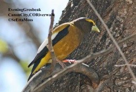 Feeder birds:  Evening Grosbeak