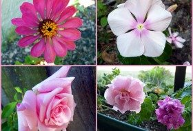 Garden Bloggers' Bloom Day: In the Pink