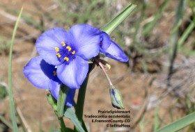 Enjoy Wildflowers:  native spiderwort