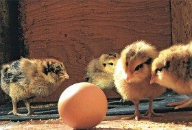 You Don't Say: Chicks and an Egg