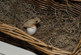 Friday Fun Photo: Cuban Tree Frog on Dove Egg