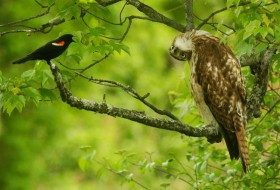 Friday Fun Photo: Red-Winged Blackbird and Hawk