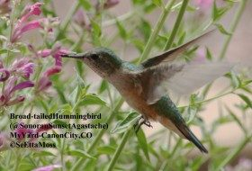 Hummingbirds as pollinators