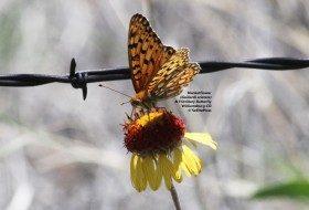 Enjoy wildflowers:  Indian blanket/blanketflower