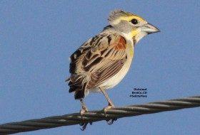 Field birding:  Dickcissel