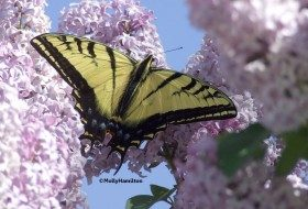 Attracting swallowtail butterflies to your yard