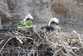 Cute baby hawks