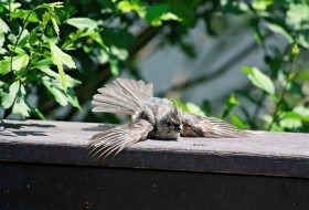 Friday Fun Photo: Fledgling Titmouse