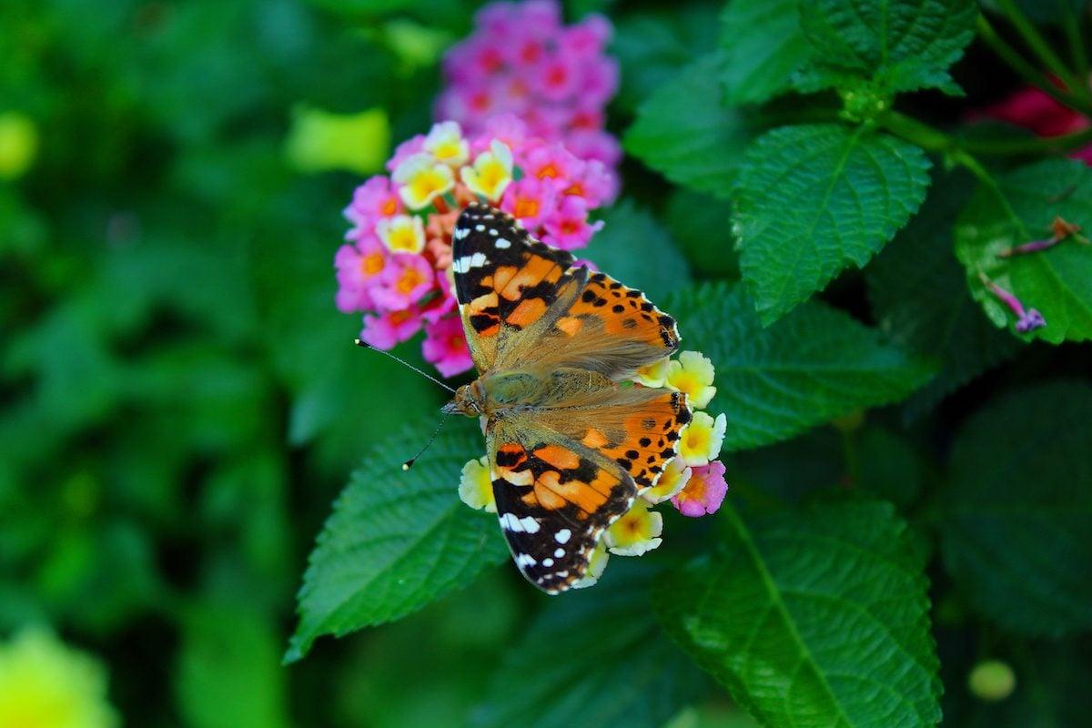 lantana butterfly