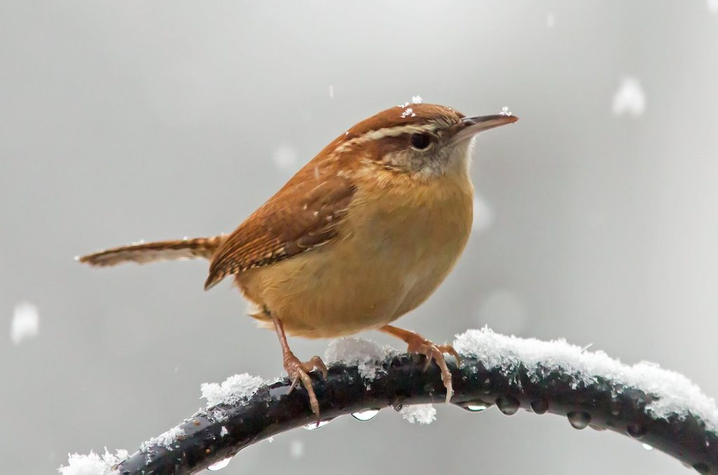carolina wren call