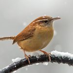 What Does a Carolina Wren Call Sound Like?