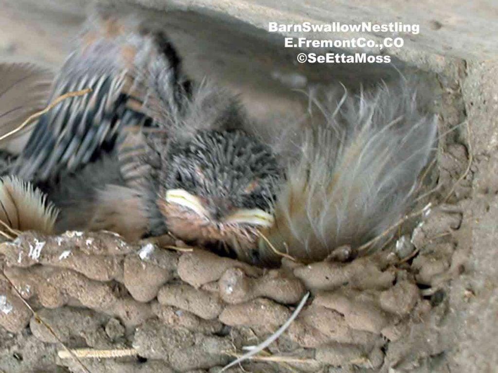 Baby Swallow Bird 39