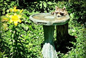 Friday Fun Photo: Raccoon at Birdbath