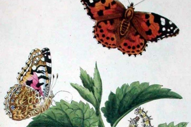 Vanessa cardui illustration by Benjamin Wilkes, English Moths and Butterflies (c1749)