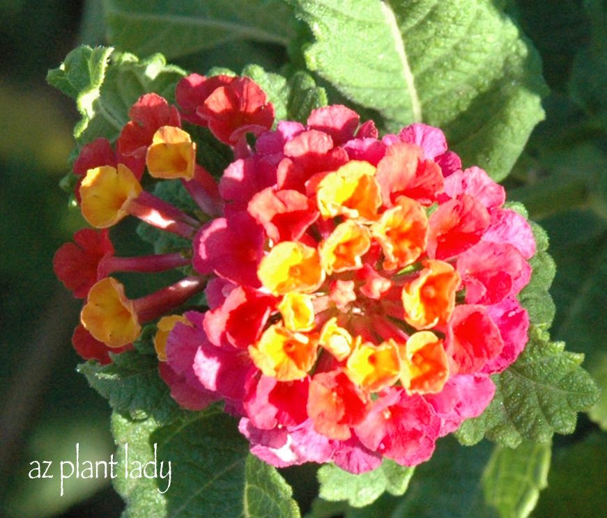 Lantana Are One Of The Most Colorful Plants In The Garden. Each U0027floweru0027 Is  Actually Made Up Of Florets. Depending On The Lantana Variety, The Florets  Are ...