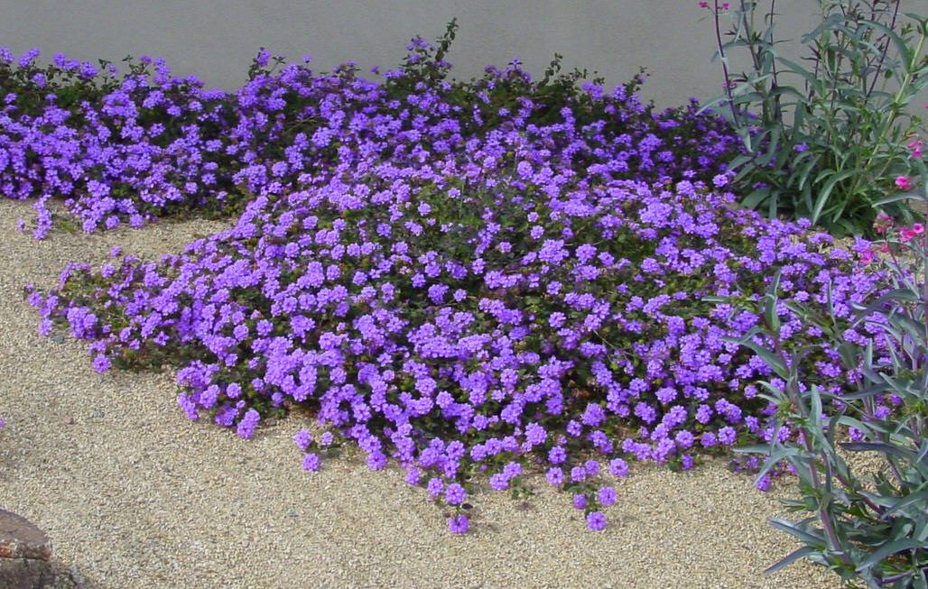 purple trailing lantana