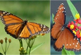 Monarchs, Queens, and Butterfly Mimicry