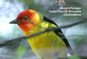 Colorful Western Tanagers