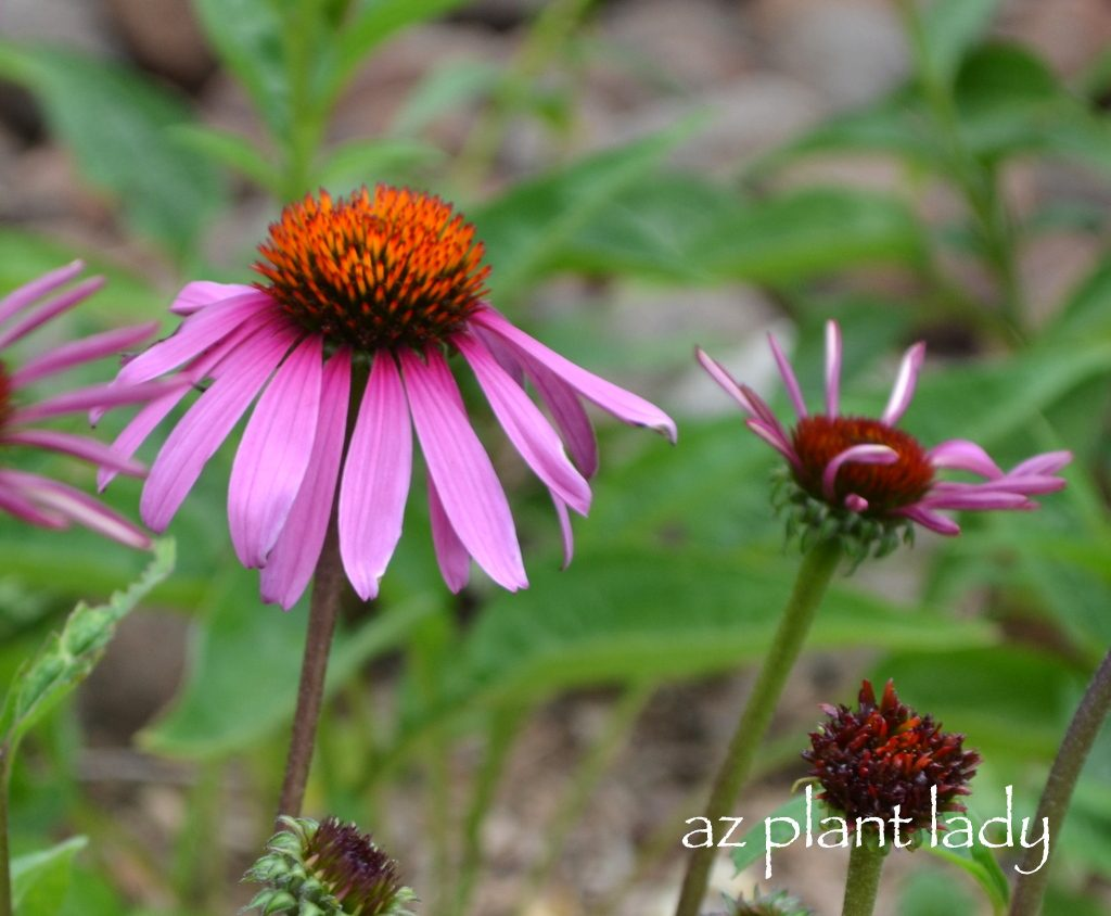 Like Most Of My Favorite Plants Coneflowers Aren T Fussy They Particularly Bothered By Pests And Do Not Require Any Fertilizer