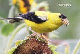 Backyard 'fav':  American Goldfinch