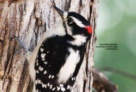 Downy Woodpecker, a yard bird in many areas