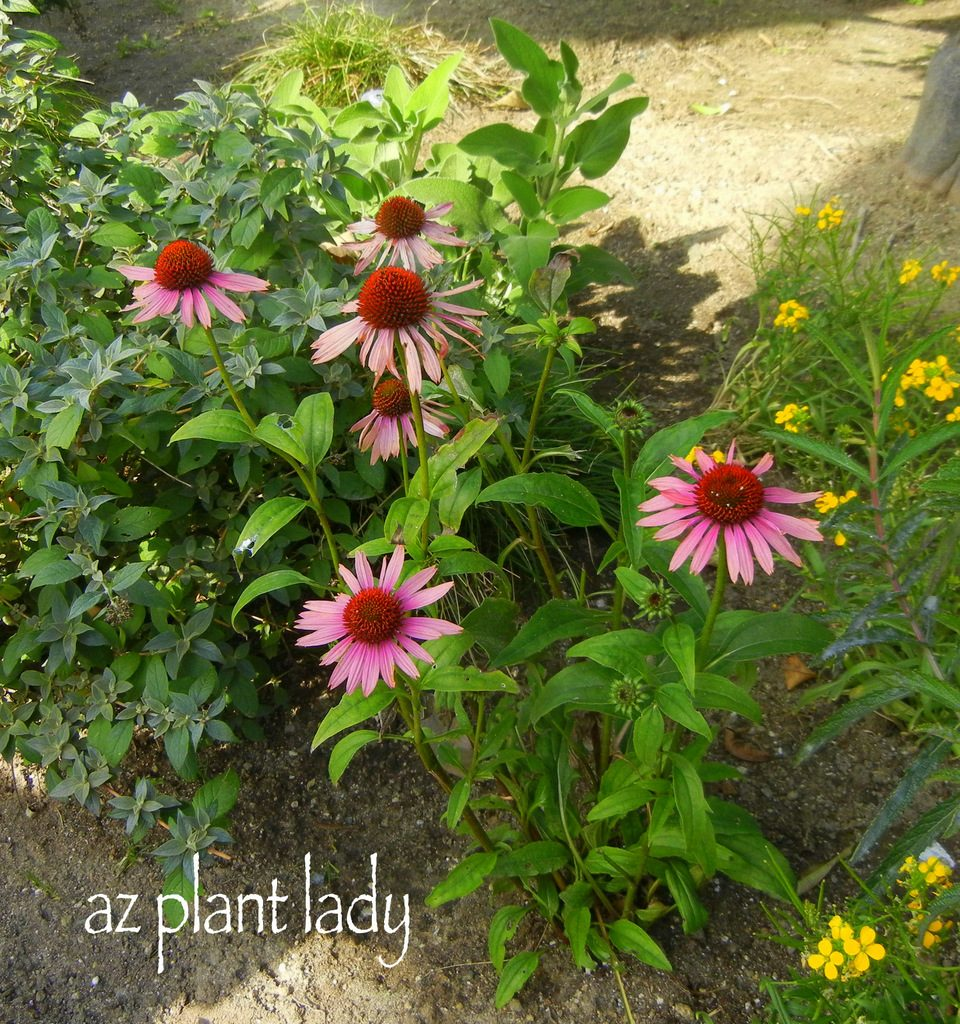 Attract birds and butterflies with coneflowers birds and blooms the beautiful daisy like flowers of coneflower echinacea purpurea make it a must have for any perennial bed however coneflowers arent just pretty izmirmasajfo